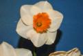 Rose Vasha